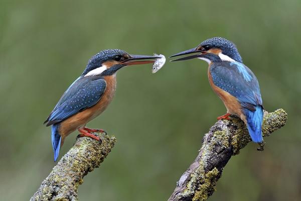 kingfishers in harmony by chrissharp
