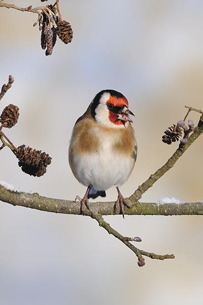 Goldfinch in alder tree by chrissharp