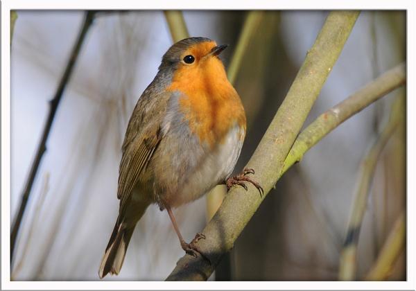 New Year Robin by pberridge
