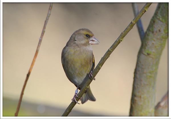 Greenfinch on ASBO? by pberridge