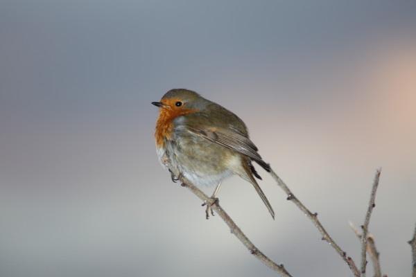 Robin by mio2mio