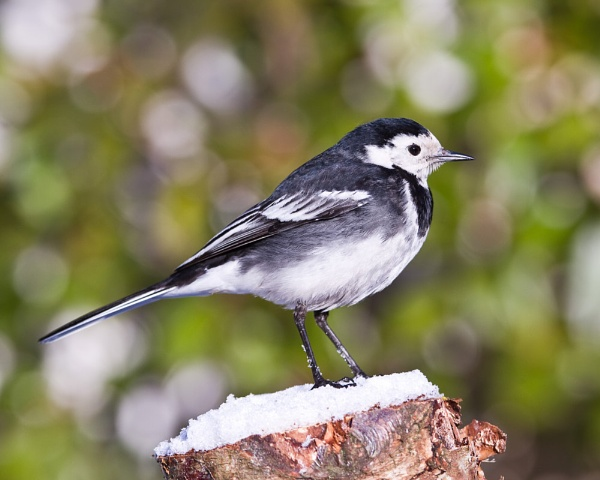 Pied Wagtail by canonfan46