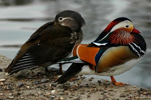 Mandarin Ducks by FabVab