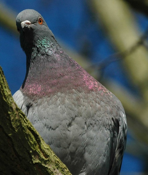 Pigeon by FabVab