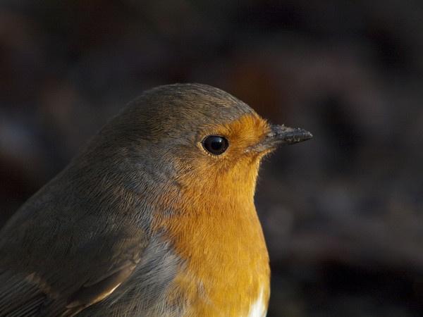 Robin by Gio