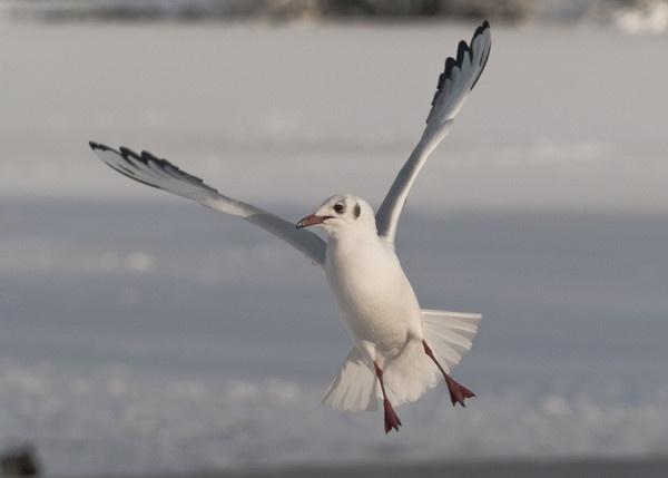 Black-headed Gull by Gio