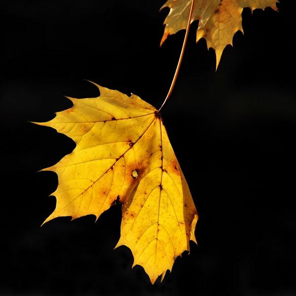 Autumn leaf by RonnieAG