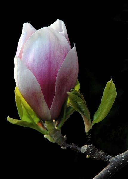 Magnolia bud. by RonnieAG