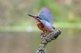 Kingfisher With Wings Spread