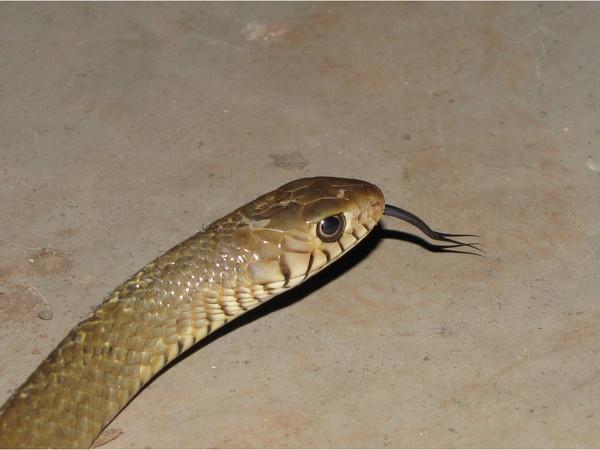 Indian Rat Snake by Chaitanya