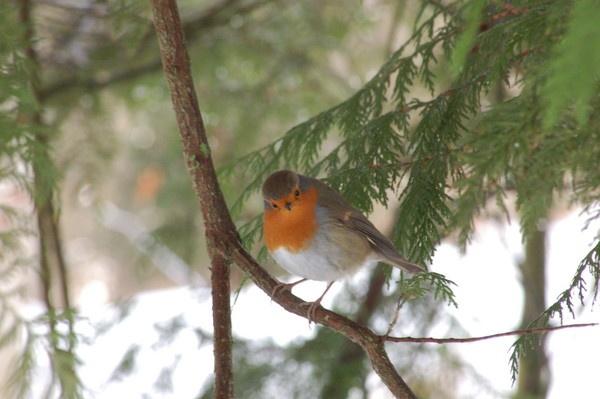 Little red robin by JoanMcC