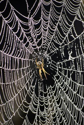 Spider by savo