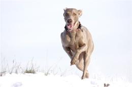 Snow Dog Millionaire