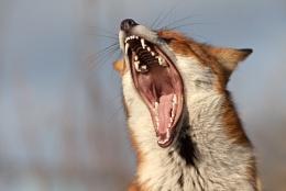'The Yawn'