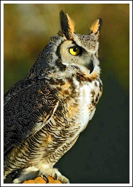 Canadian Long eared owl by shawpaul
