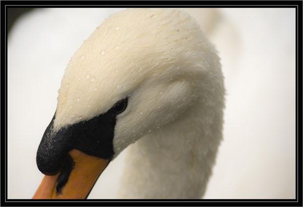 Swan by GarethH