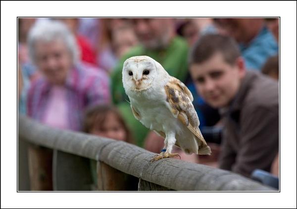 Barn Owl by casson