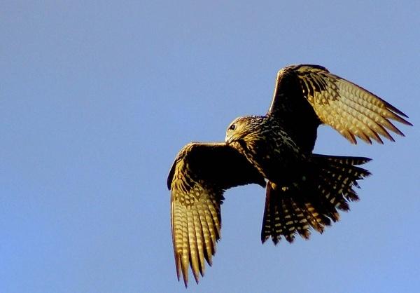 Hawk by AJB_yeh