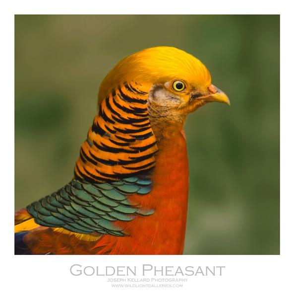 Golden Pheasant by WildLight