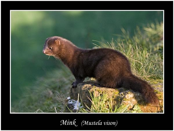 Mink (Mustela vison) by teocali