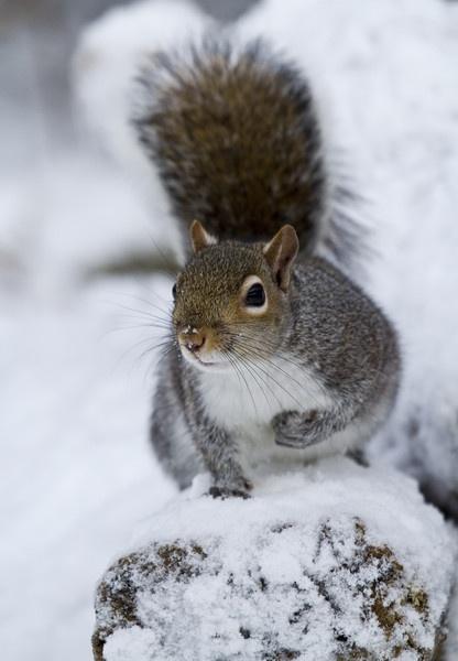 Squirrel by pmaccyd