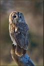 Tawny Owl by ChrisWallace