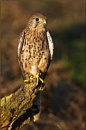 Kestrel (Falco Tinnunculus) by ChrisWallace