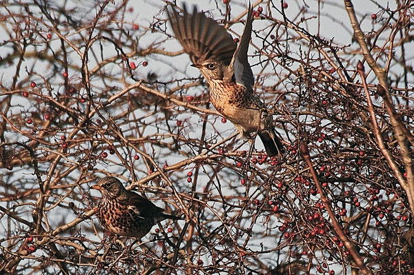 Last Fieldfare. by betts