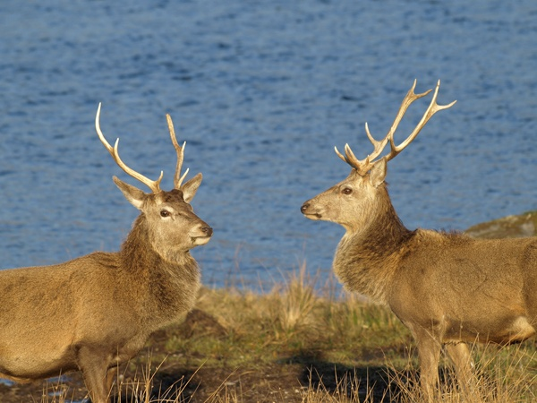 Stags by the Loch by iainmacd