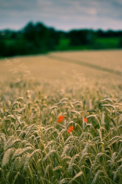 Poppys in Wheat by darrenackers