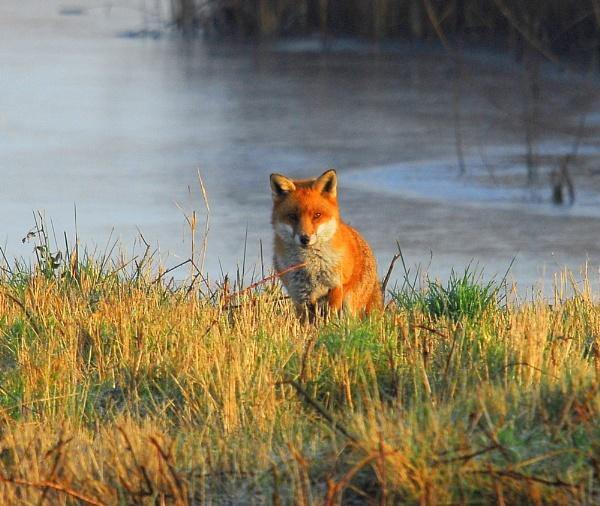 Fox. by Wilmot
