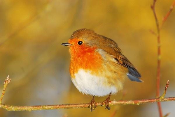 Robin. by Wilmot