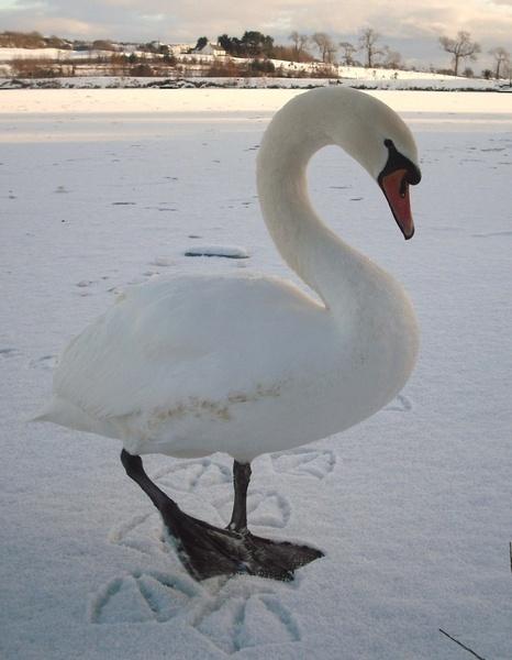 one swan by unicorn17