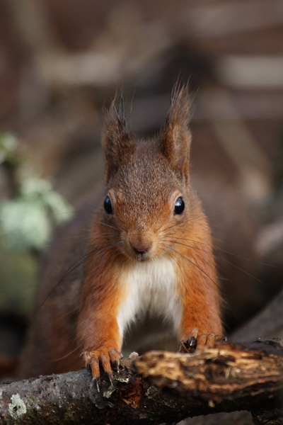 Red Squirrel by Stuart_B