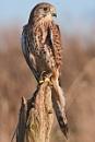 Falco Tinnunculus by LensYews