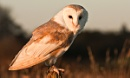 Tyto Alba by LensYews