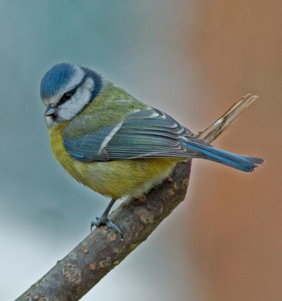 Mr Blue Bird by Growmore