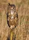 Eagle Owl by Lorraine_Wallace