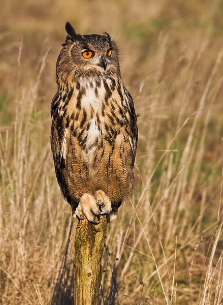 Eagle Owl by Lorraine_Wallace