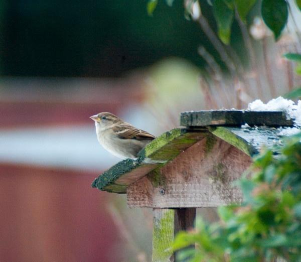 House Sparrow by Emmog