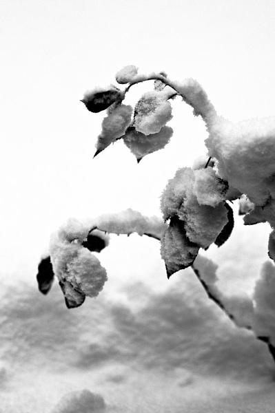 snow roses by bridget1234