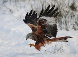 Red Kite in winter