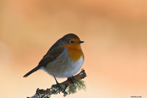 Robin by paulrosser