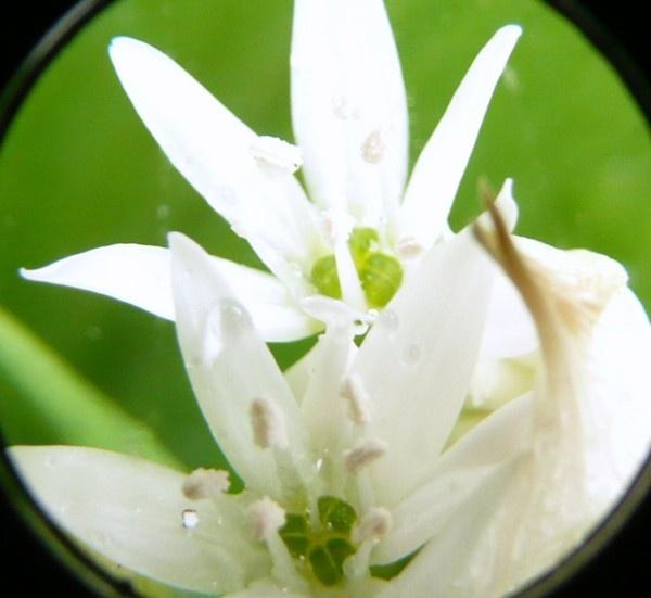 wild garlic close up by quattro