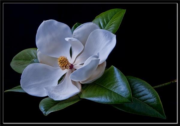 magnolia by VonQ