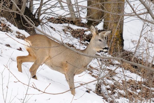 Roe Deer In Snow by Grassi