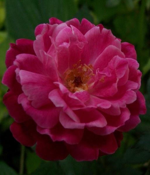 Rose by dipsekhar
