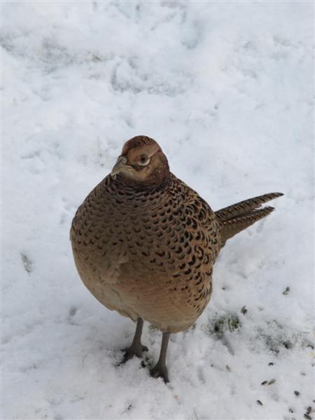 my pet pheasant by Pamela81