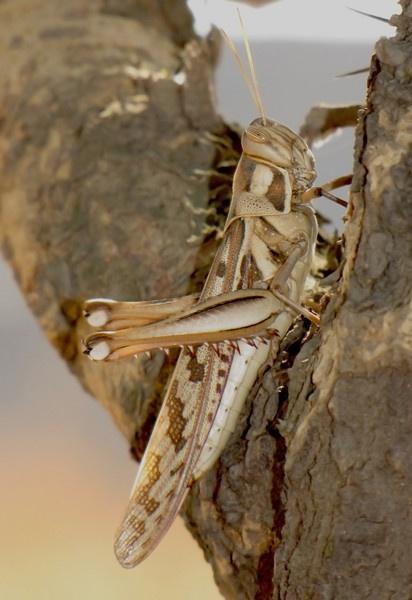 Grasshopper by Chaitanya
