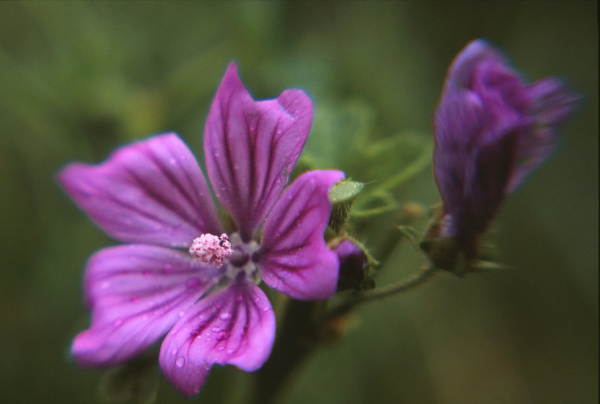 Common Mallow through a Lensbaby. by Amanita05